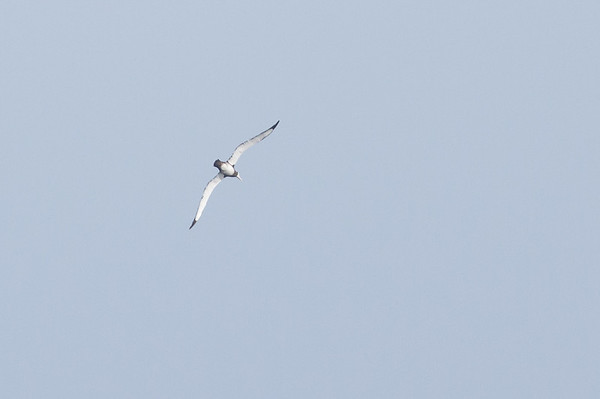 Wandering Albatross Eaglehawk Neck, TAS September 04, 2011 IMG_0840