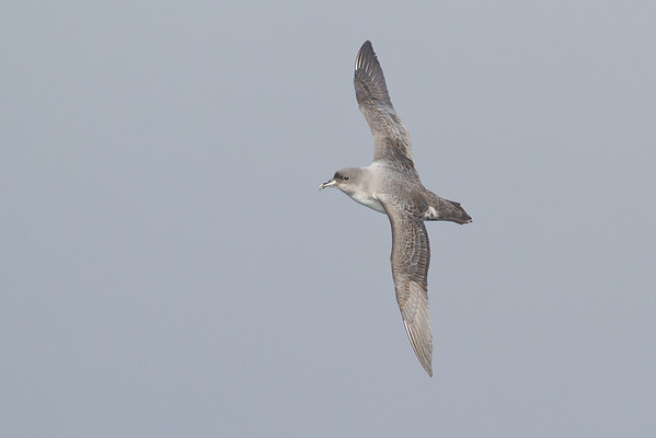Grey Petrel Eaglehawk Neck, TAS August 18, 2012 IMG_0164
