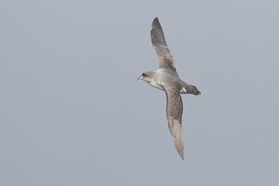 Grey Petrel Eaglehawk Neck, TAS August 18, 2012 IMG_0164