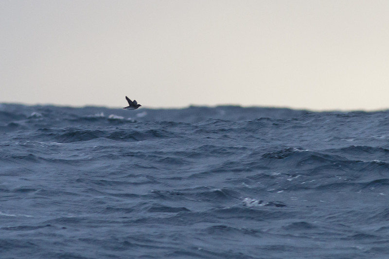 Common Diving-petrel Eaglehawk Neck, TAS August 18, 2012 IMG_9933