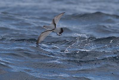 Fairy Prion Eaglehawk Neck, TAS August 18, 2012 IMG_1021
