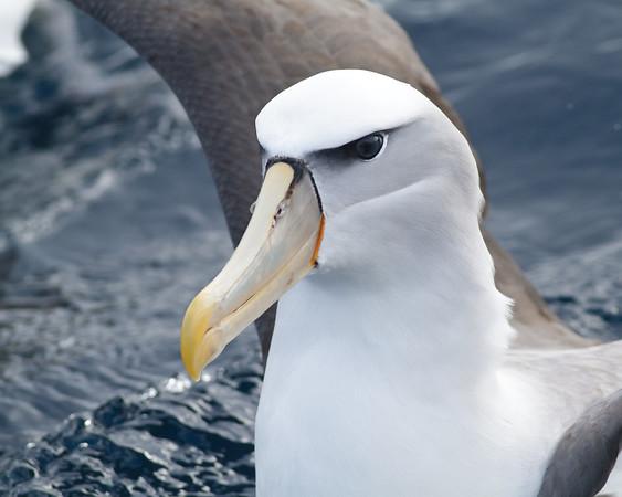 Shy Albatross (unusually yellow bill) Eaglehawk Neck, TAS August 18, 2012 IMG_1241