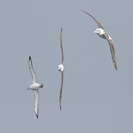 Shy Albatross Eaglehawk Neck, TAS August 18, 2012 IMG_0098