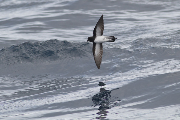 Grey-backed Storm-petrel (Garrodia nereis)