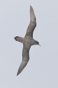Grey Petrel Eaglehawk Neck, TAS August 18, 2012 IMG_0175