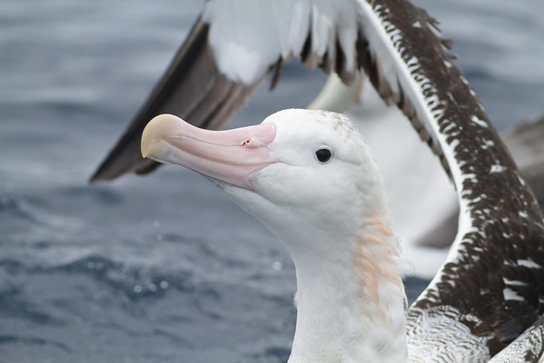 Wandering Albatross Eaglehawk Neck, TAS August 19, 2012 IMG_2601
