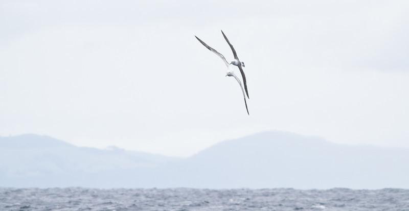 Southern Royal Albatross, Shy Albatross Eaglehawk Neck, TAS August 19, 2012 IMG_1931