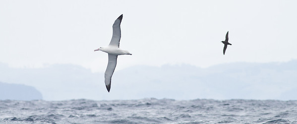 Southern Royal Albatross, Sooty Shearwater Eaglehawk Neck, TAS August 19, 2012 IMG_1934