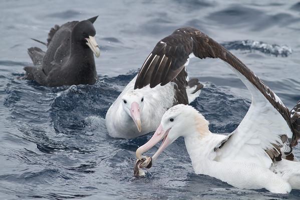 Southern Giant-petrel, Wandering Albatross Eaglehawk Neck, TAS August 19, 2012 IMG_2540