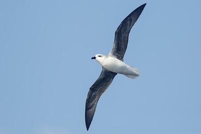 White-headed Petrel (Pterodroma lessonii)