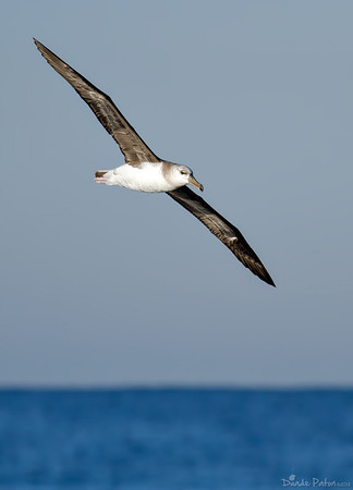 Black-browed Albatross - Juvenile
