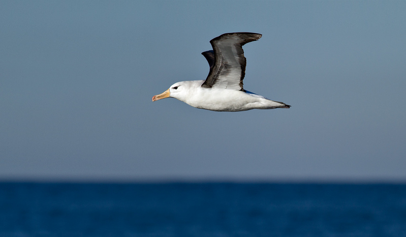 Black-browed Albatross -Sub-adult
