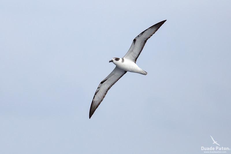 White-necked Petrel