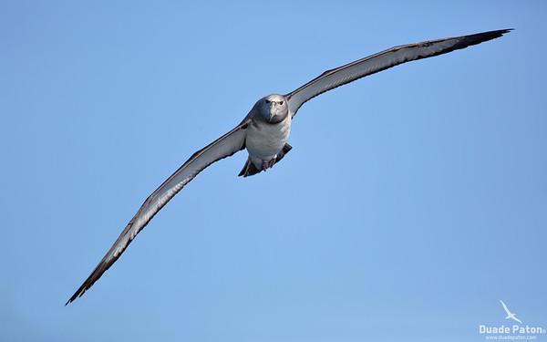 Shy Albatross Juvenile