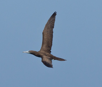 Brown Booby  Mexican Waters 2013 10 14-2.CR2