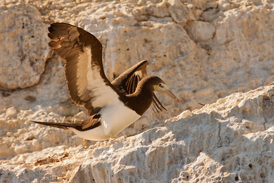 Brown Booby  Los Coronados Mexico 2010 11 13-1.CR2