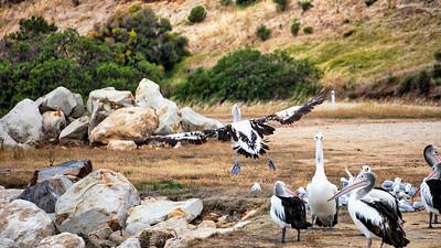 Piebald Pelican