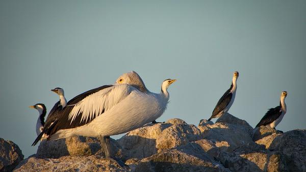 Pelicans Feb9 3 (1)