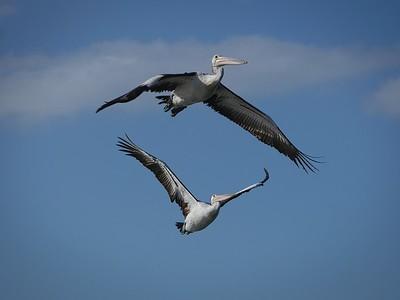 Pelican Duet 2