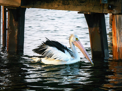 Pelican under jetty1