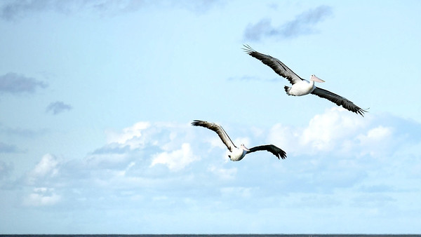 Pelicans and Solar2 (1)