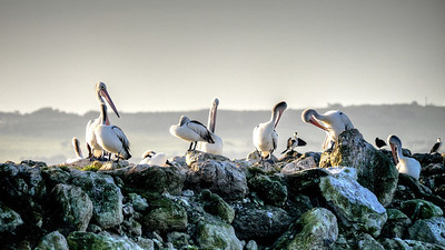 PelicansOnTheRocks