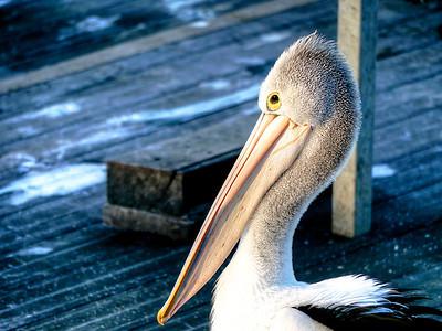 Pelican side