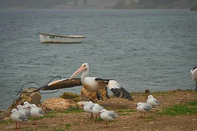 Pelican lifting off