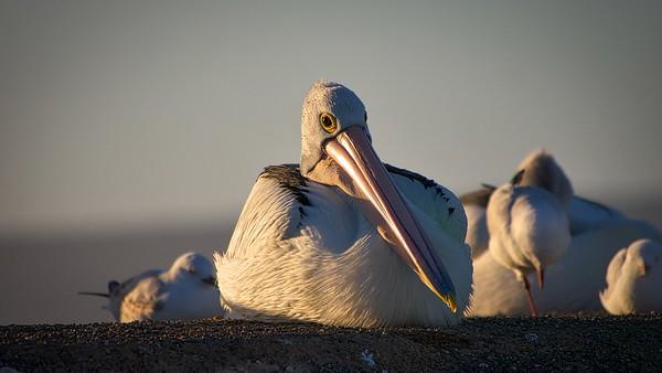 Pelicans Feb9 1