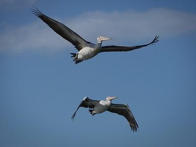 Pelican Duet 1