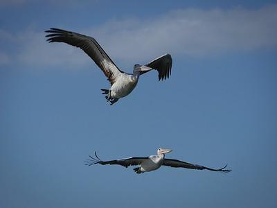 Pelican Duet 4