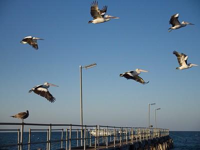Pelicans 5 (1)