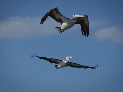 Pelican Duet 5