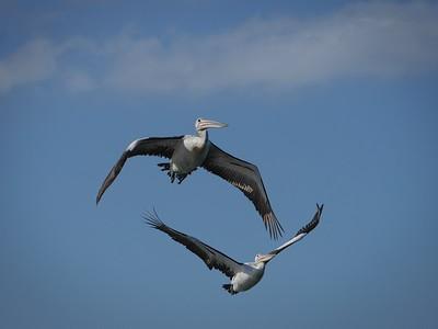 Pelican Duet 3