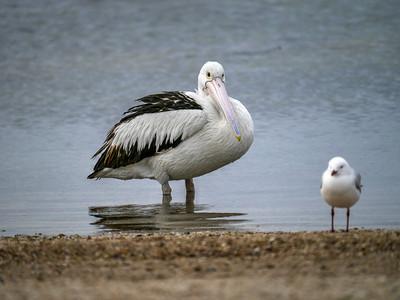 Pelican wading
