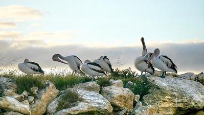Pelicans seven