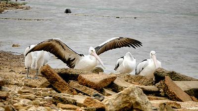 Pelican Wings (1)