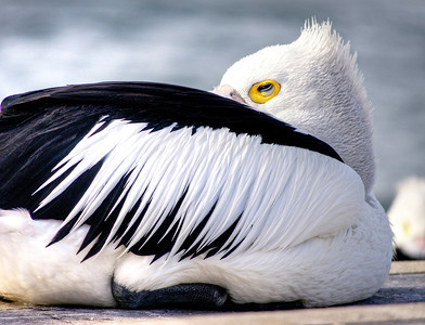 Pelican Sightings 2