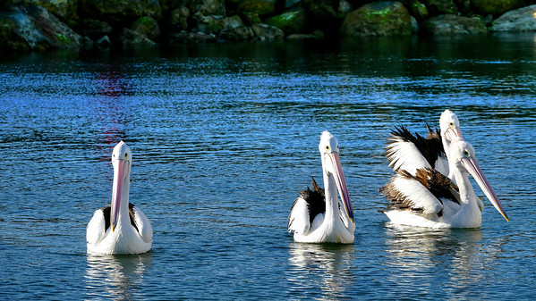 Pelicans at Boat Ramp waiting