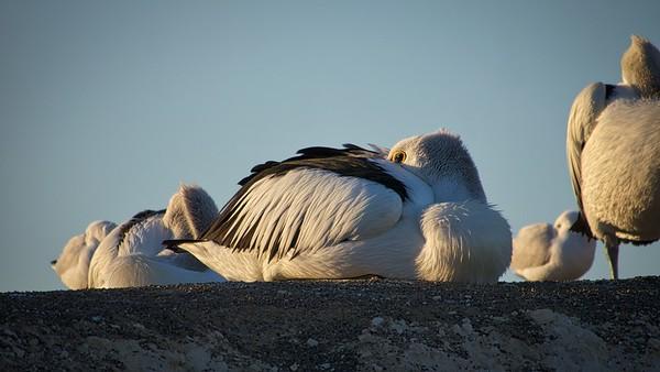 Pelicans Feb9 3