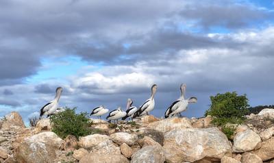 Pelicans at boat ramp