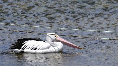 Limbo Pelican