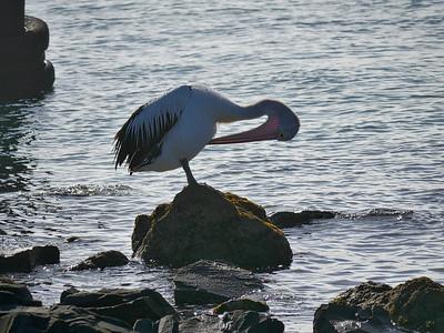 Pelican on the rocks2