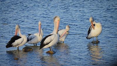 Pelicans eyes down, Jan2015