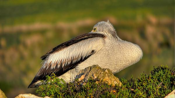 Pelican July14
