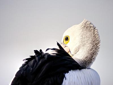 Pelican Sightings