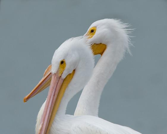 pelicans 2