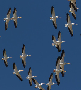 American White Pelican Coso Junction 2018 08 31-2.CR2