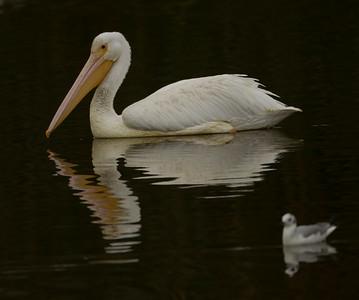American White Pelican  Del Mar 2013 11 19.CR2-2.CR2