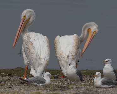 American White Pelican Lake Crowley 2018 08 12-3.CR2